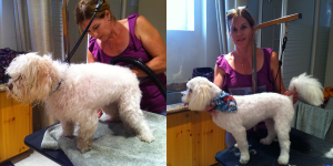 Tetley-Before-After - posh pooches dog grooming