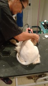 Cat getting a lion cut groom at Posh Pooches Toronto